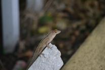 gecko - lagartixa