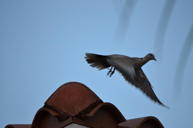 Mourning Dove - Pomba