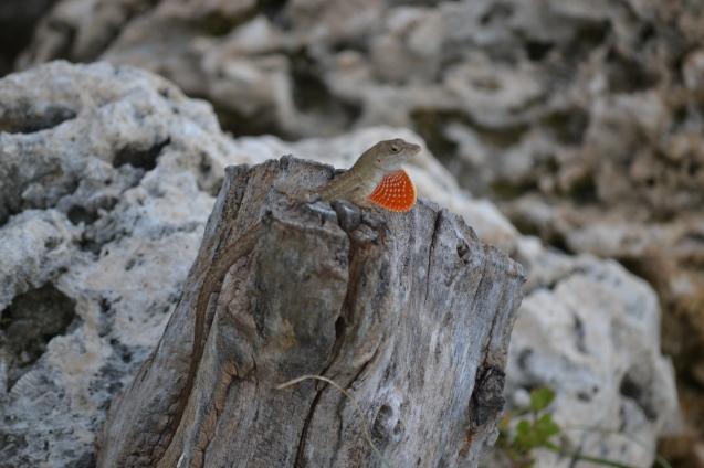 Gecko - Lagartixa - Mostrando a papada para atrair fêmeas.