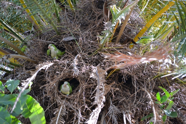 Parakeets - Periquitos