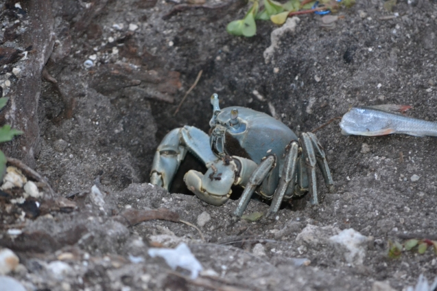 Blue Land Crab - Caranguejo-Uçá Azul ou Guaiamum