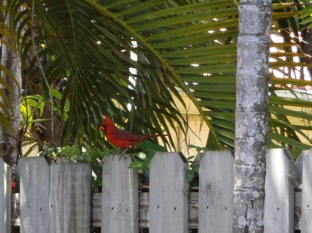 Northern Cardinal comumente chamado de Red Cardinal ou Cardeal vermelho