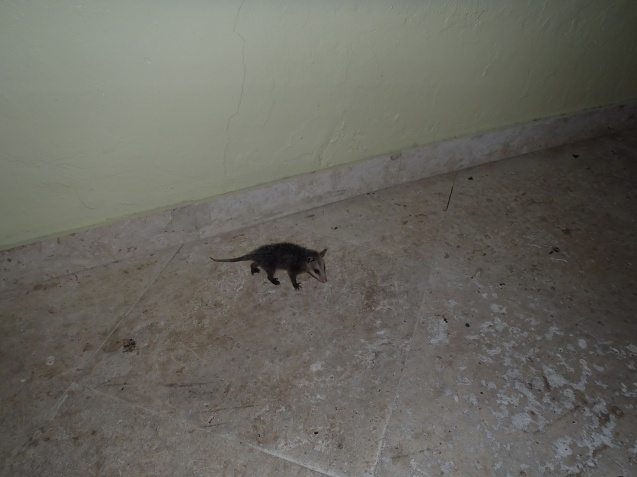 Filhote de Possun ou Opossum - gambá